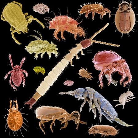 http://macromite.wordpress.com/2009/04/29/a-menagerie-of-microarthropods/