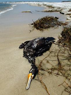 olaj szennyezéstől elpusztult madár a Mexikói-öbölben