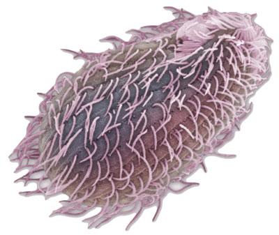 Csillókkal rendelkező sejt