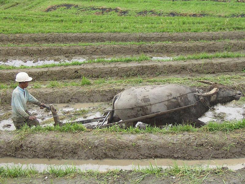 indonéz földműves