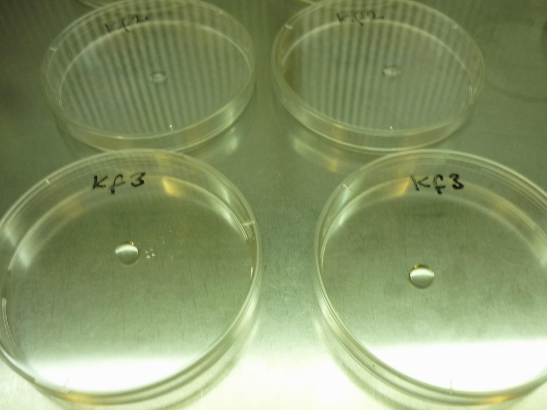 100 μl Petri-csészébe mérése