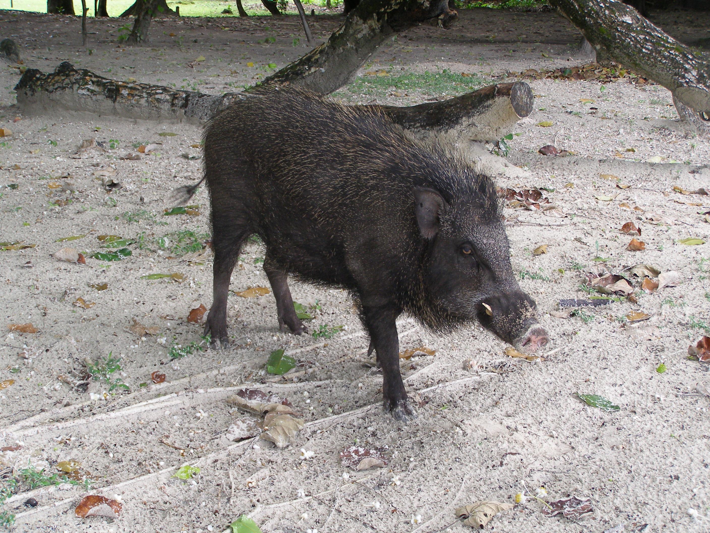 Ujung Kulon vendégváró vadisznója