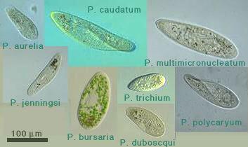 http://protist.i.hosei.ac.jp/PDB/images/Ciliophora/Paramecium/Paramecia.jpg