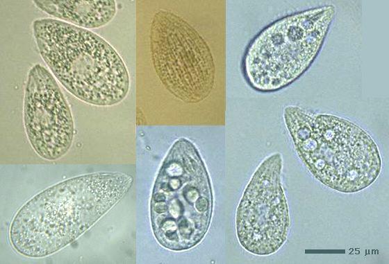 http://protist.i.hosei.ac.jp/taxonomy/ciliophora/oligohymenophorea/genus/tetrahy