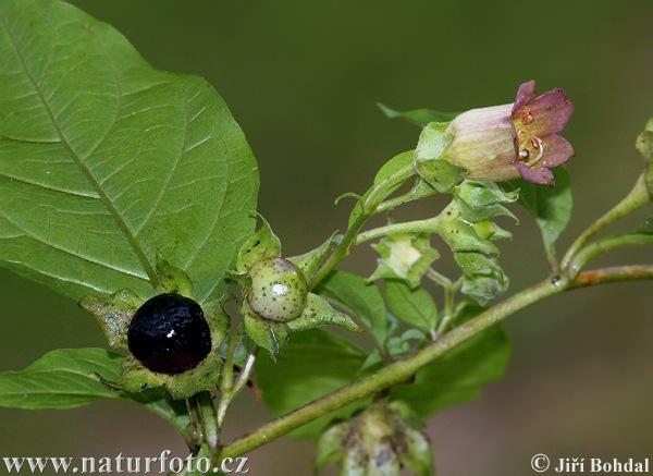 Nadragulya (Atropa belladonna)