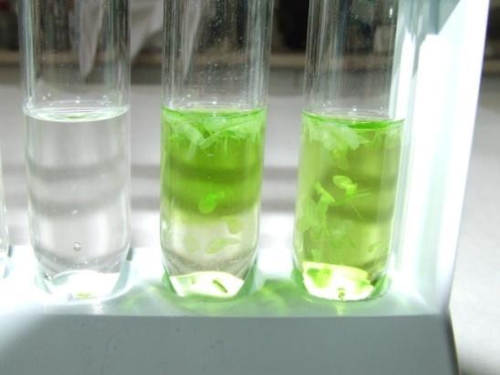 Békalencse etanolban extrahált klorofill-tartalma