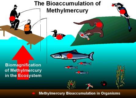 http://vceenviroscience.edublogs.org/files/2009/07/bioaccumulation.jpg