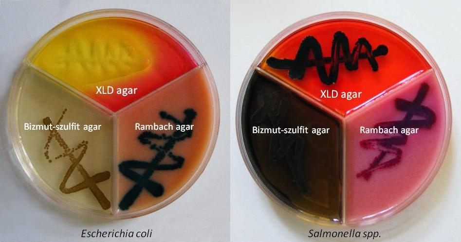 Escherichia coli és Salmonella kimutatása Bizmut-szulfit, XLD és Rambach differe
