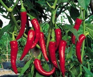 http://www.fuzing.com/vli/002807c0c378/Herb-Extracts_capsicum-oleoresin-oleoresi