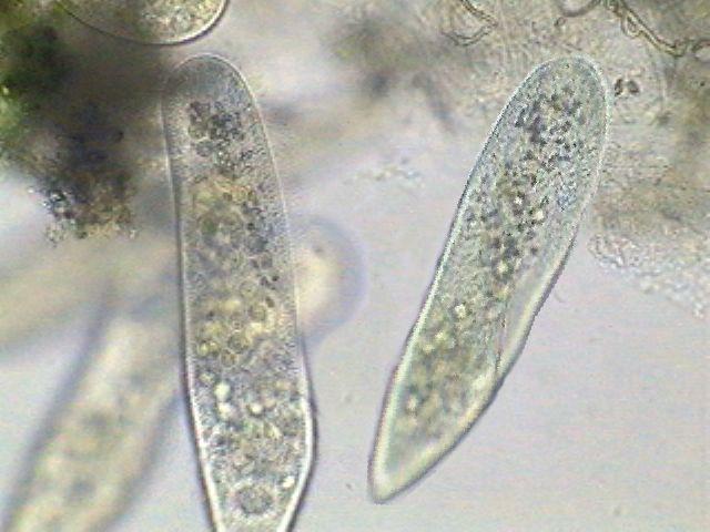 http://www.microscopy-uk.org.uk/mag/imgdec02/paramecium.jpg