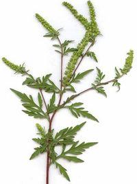 Ürömlevelű parlagfű - özönnövények