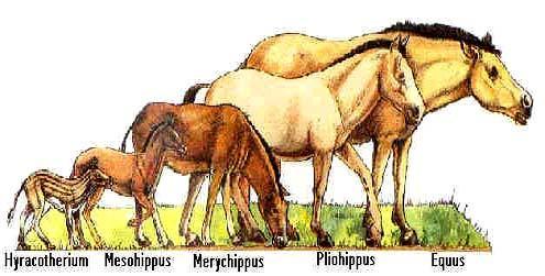 A ló evolúciója