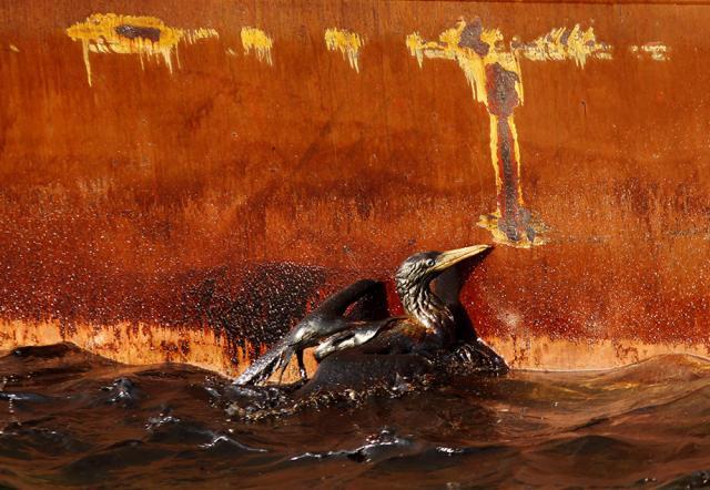 Olajjal borított madarak a Mexikói-öbölben